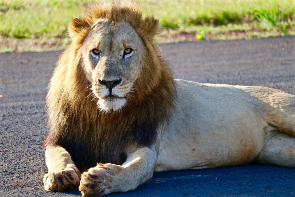 African Safari – Tracking a Pride of Lions with Andbeyond